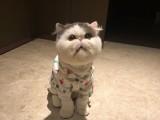 加菲猫宠物猫黄白加菲幼崽长毛加菲猫幼猫咪活幼体波斯猫活物
