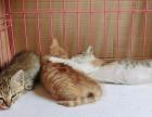 丽水市家养橘猫幼崽多少钱