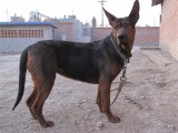 莱州红犬价格,出售纯种莱州红幼犬,莱州红犬图片