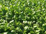 创新农业中药材泽泻种子 种苗 成品出售