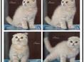 萌猫来袭,品质高颜值高的苏格兰折耳猫等你抱回家