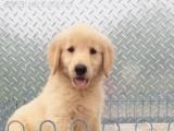 金毛寻回犬幼犬