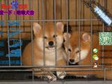 哪一家宠物店卖纯种健康的柴犬多少钱一只