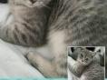 各类英短,布偶,折耳世界名猫出售