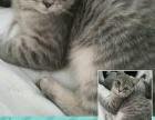 各类英短,布偶,折耳世界名猫出售!
