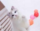 布偶猫配种 成年布偶猫,海山双,可配种,带证书