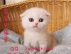 广州猫舍出售纯种折耳猫 折耳蓝猫 苏格兰折耳猫 欢迎上门挑选