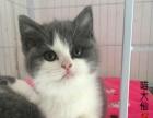 【喵大仙】私家猫舍 出售各类猫咪幼崽