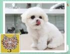 深圳出售宠物幼犬比熊 疫苗齐全 全国包邮
