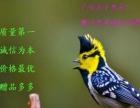 (鹏飞鸟业)出售鸣鸟 黄夹山雀 叫口好 外观漂亮
