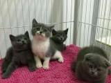 青岛哪里卖蓝白猫 青岛纯种蓝白猫价格 青岛哪里的蓝白猫便宜