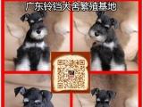 在佛山南海买雪纳瑞犬有保障吗,铃铛犬舍自家狗场繁殖保证健康