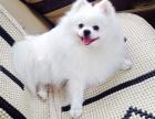 宠物店里的博美犬可以买吗 健不健康