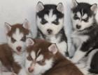 出售自家繁殖的**哈士奇幼犬健康有保障定期驱虫