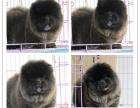 高端品质松狮幼犬出售 呆萌呆萌的非常可爱 可上门挑选