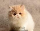 今天下单包邮 纯种蓝白异国长毛猫 加菲猫 家养幼波