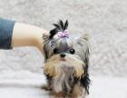 高品质小体纯血统金头银背约克夏幼犬