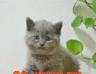 活泼可爱的经典蓝色小蓝猫长的萌萌哒居家最爱