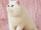 貴州畢節雙血統凈梵加菲貓價格