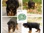 石家庄出售2 4个月幼犬(罗威纳)疫苗齐签协议