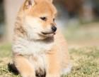 大足区柴犬出售已打针 上门看狗