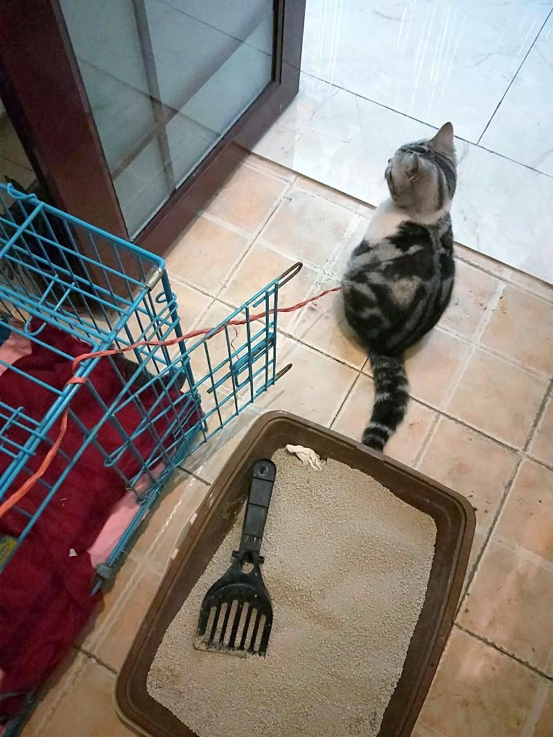 售卖一只虎斑猫,有意者私聊