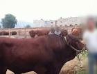 忻州养牛厂杂交牛苗价格17年