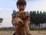 长沙三百也可以购金毛阿拉斯加 泰迪熊 松狮犬 德牧边牧多品种