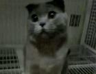 英短蓝猫丁香色和折耳种公