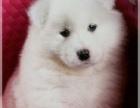 出售的萨摩狗狗均有绝对的健康及血统保证
