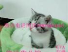 猫舍售美国短毛猫 美短加白宠物猫 活体幼猫纯种家养