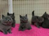 纯种蓝猫一窝转让 公母可挑选 疫苗齐全 非诚勿扰