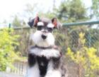 cku注册五星级犬舍 双血统雪纳瑞可上门挑选