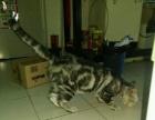 转让成年美短母猫 标准虎纹
