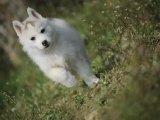 里有出售纯种哈士奇雪橇犬 带健康证书 血统证书 钱