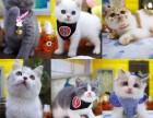 广州本地猫舍宠物猫出售蓝猫布偶猫蓝白猫渐层猫三个月