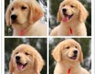 自家繁殖的金毛幼犬出售啦保健康纯种(可办理血统证)