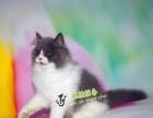 《波斯猫》幼猫纯种波斯猫宠物猫波斯猫宠物猫波斯