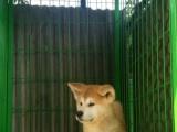 曾经有这么一条狗感动全世界,,精品秋田犬 实物拍摄