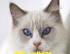 业猫舍繁殖精品布偶猫咪等各种名猫 品质保障