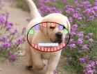 出售神犬小七拉布拉多宠物犬狗狗幼犬选择专业选择放心