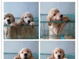 出售健康金毛幼犬 纯种公母齐全可以做健康体检