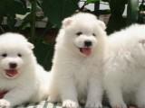 成都狗狗之家长期出售高品质 萨摩耶 售后无忧