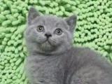 出售英短蓝猫,蓝白,乳白,渐层,美短加白,加菲猫