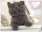 南京+鹿老师的私房猫+出售