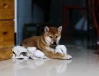 哪里卖黑色小柴犬 大连黑色柴犬多钱一只 纯种日系柴犬出售