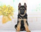纯种德国牧羊犬宝宝,专业狗舍品质保证,你值得拥有