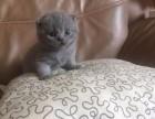 自家繁育英美短加菲猫蓝猫折耳等 寻爱心家庭