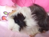 荷兰猪养殖场批发零售 特种养殖动物长逆毛
