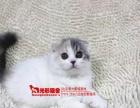 加白折耳,蓝猫折耳,美短银虎斑折耳,公母都有,带证